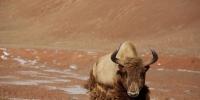 """您有一张来自""""金丝野牦牛""""的邀请函 - 中国西藏网"""