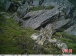 它是雪山之王 霸气外露却又亟待保护 - 中国西藏网